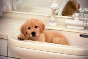 狗狗怀孕了能洗澡吗?